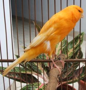 Perawatan Yorkshire (YS) « mania burung kenari